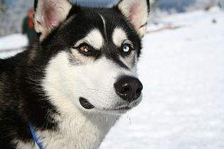 Siberian_Husky_bi-eyed_Flickr
