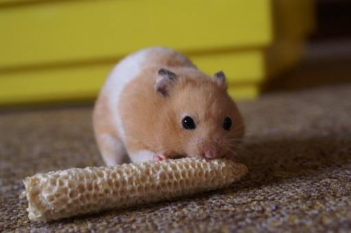 Mesocricetus_auratus_-pet_hamster-8a