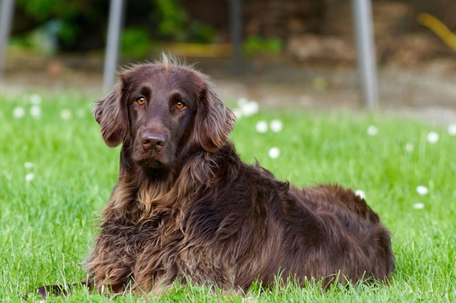 dog-animal-pet-german-longhaired-pointer