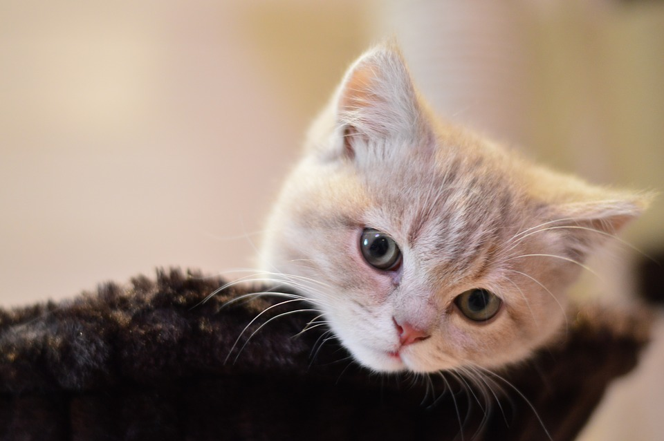 Kitty Cute Pets Cat