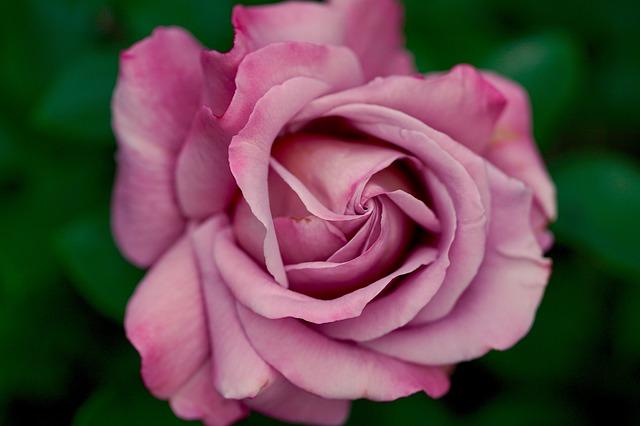 rose-782513_640