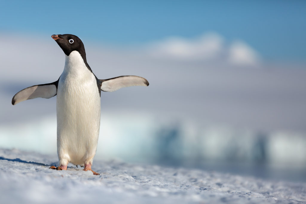 "Disneynature's all-new feature film ""Penguins"" is a coming-of-age story about an Adélie penguin named Steve who joins millions of fellow males in the icy Antarctic spring on a quest to build a suitable nest, find a life partner and start a family.  None of it comes easily for him, especially considering he's targeted by everything from killer whales to leopard seals, who unapologetically threaten his happily ever after. From the filmmaking team behind ""Bears"" and ""Chimpanzee,"" Disneynature's ""Penguins"" opens in theaters nationwide in time for Earth Day 2019."