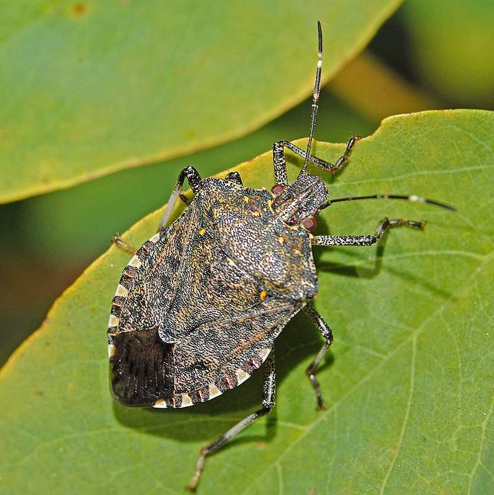 Stink Bug- Image Credit